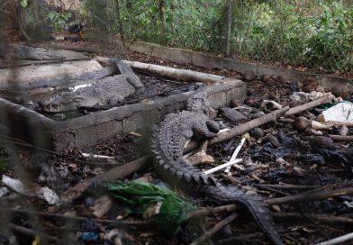 Procuraduría de Medio Ambiente rescata tres cocodrilos mantenidos bajo condiciones deplorables por el ex pelotero José Rijo